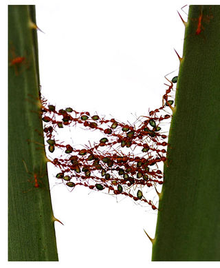 Ant-bridge